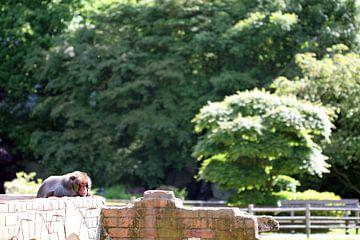 sip aapje in de dierentuin von Klaase Fotografie