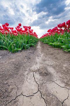Bloeiende rode en roze tulpen in een veld tijdens een stormachtige lentemiddag van Sjoerd van der Wal