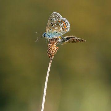 Ikarusblau - Polyommatus icarus 3 von Rob Smit