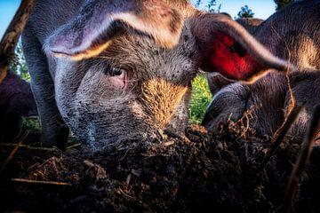 Een varkensoog