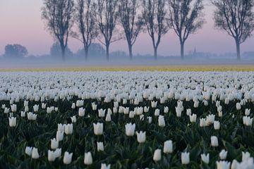 Tulpen bei Sonnenaufgang mit Nebel in der niederländischen Landschaft von Nfocus Holland