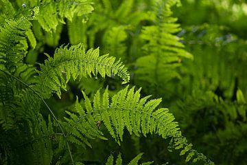 Farne im Wald von Elles Rijsdijk