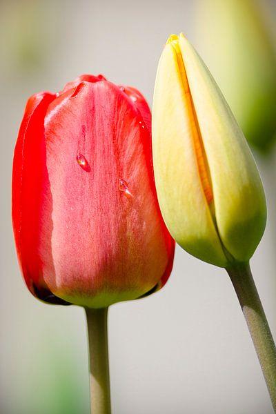 Tulpenliefde van Peter Vruggink