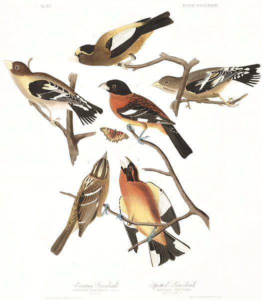 Avonddikbek van Birds of America