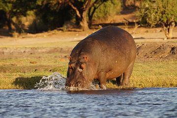 Nijlpaard te water van Erna Haarsma-Hoogterp