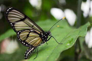 Vlinder op blad von Jos van Ooij