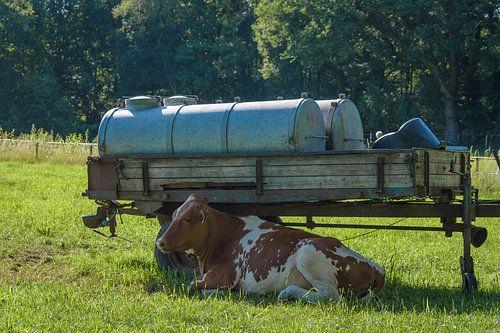 Koe in de schaduw