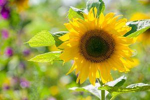 Zonnebloem in tegenlicht