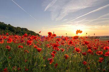 Mohnblüten im Sonnenuntergang von Steffen Gierok