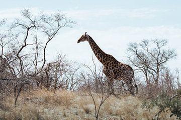 Giraffe in der Ebene || Kruger National Park, Südafrika von Suzanne Spijkers