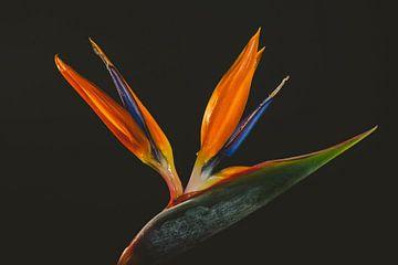 Paradijsvogelbloem tegen een donkere achtergrond van Marjolijn Maljaars