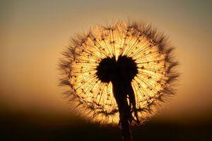 Sonnenuntergang durch einen flauschigen Ball aus Löwenzahn von Cor de Hamer