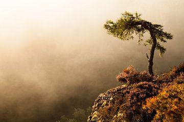 Kiefer im Morgennebel am Haferfels im Pfälzer Wald bei Dahn von Jiri Viehmann