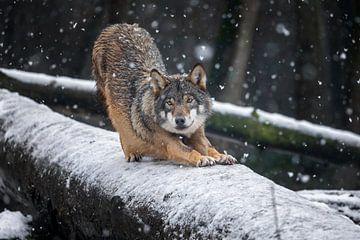 Grauer Wolf von gea strucks