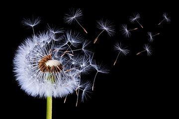 Dandelion blowing, Bess Hamiti van 1x