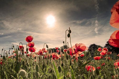 Mohnblumen zum Sonnenaufgang