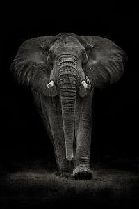 Ngorongoro Bull, Mario Moreno