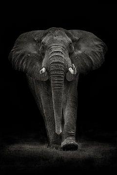 Ngorongoro Bull, Mario Moreno van 1x