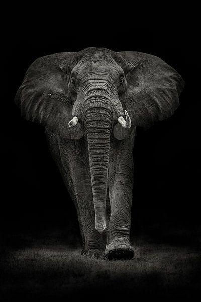 Ngorongoro Bull, Mario Moreno von 1x