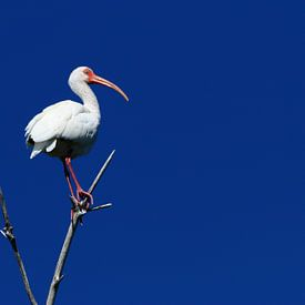 Tiefblauer Himmel mit Ibis von Christiane Schulze