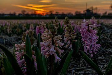 Hyacinten bij zonsondergang 1 van Peter Heins