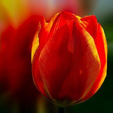 rote Tulpe von Dick Jeukens