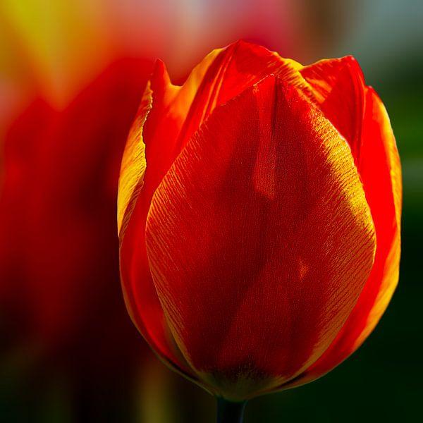 rode tulp van Dick Jeukens