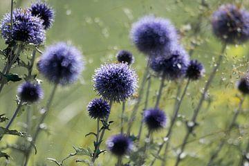 Blaue Kugeldistel von Marian Sintemaartensdijk