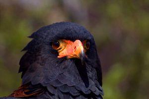 Roofvogel, de Bateleur (Terathopius ecaudatus) van