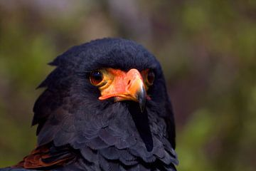 Roofvogel, de Bateleur (Terathopius ecaudatus) van Carla van Zomeren