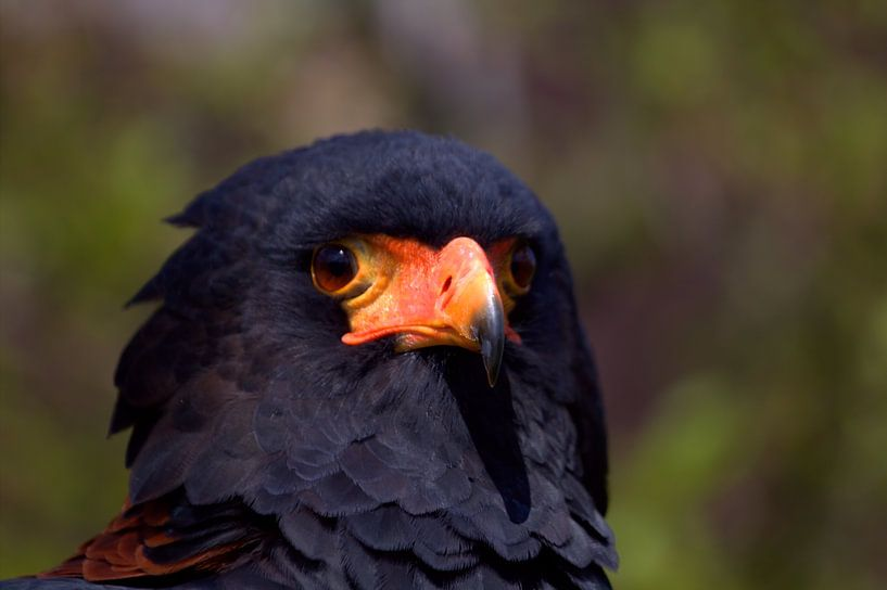 Roofvogel, de Bateleur (Terathopius ecaudatus) sur Carla van Zomeren