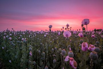 Pink flowerfield sur Esmeralda holman