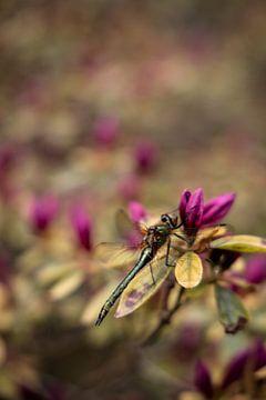 Libelle auf Blüte von Franziska Pfeiffer