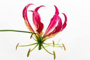 Tropische bloem op lichte achtergrond van