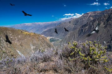 Vliegende condors boven Colca Canyon,  Peru van Rietje Bulthuis