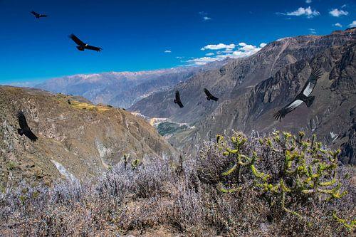 Vliegende condors boven Colca Canyon,  Peru