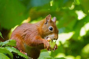 Rode Eekhoorn eet hazelnoot