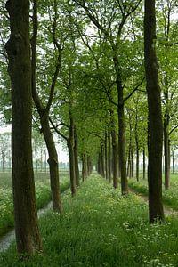 Bomenlaan met essen en fluitenkruid in de lente