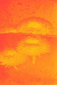 Bellis met reflectie in oranje van Marc Heiligenstein