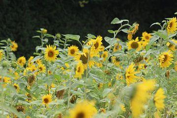 Sonnenblumen von Niels Hens