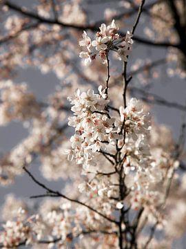 Rosa Blüte von Stefanie van Beers