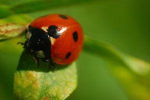 Lieveheersbeestje close-up op groen blaadje van