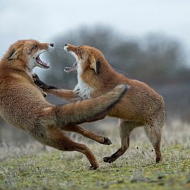 Red Foxes ( Vulpes vulpes ), two adults, in agressive fight, fighting, threatening with wide open ja van wunderbare Erde