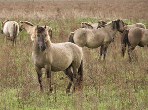 Konikpaarden van Arjen Schimmel
