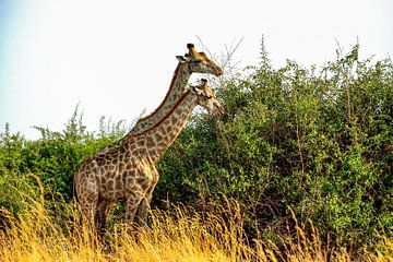 De giraf is gezellig samen aan het lunchen van Merijn Loch