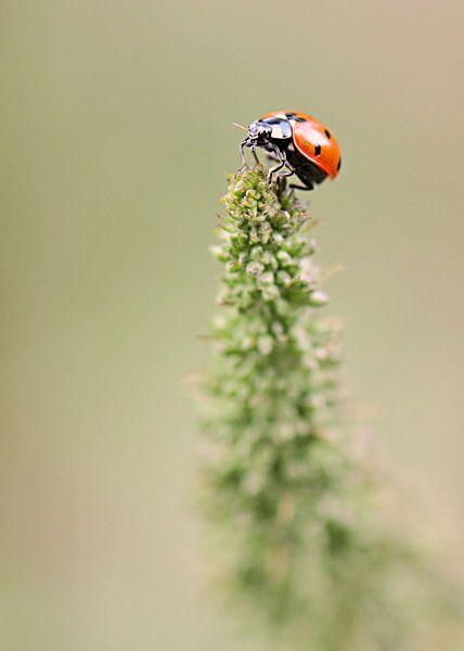 Lieveheersbeestje van Paul Arentsen