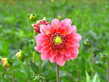 In het oog van een Roze Dahlia van Zowauwart Of Chance