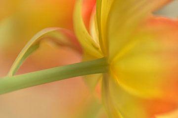 Tulpe von Alexandra Bijl