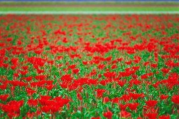 Veld vol rode tulpen