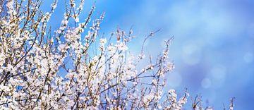 baumblüte vor blauem himmel von Dörte Stiller